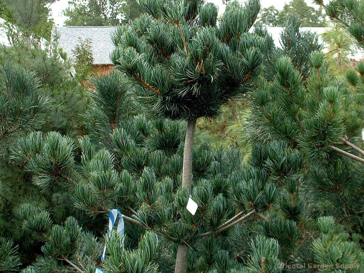 pinus parviflora 39 glauca nana 39 oriental garden supply llc. Black Bedroom Furniture Sets. Home Design Ideas