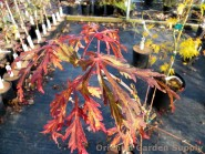 Acer japonicum 'Abby's Weeping'