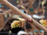 Corylopsis glabresc. 'Longwood Chimes'