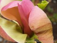 Magnolia x 'Woodsman'
