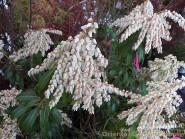 Pieris japonica 'Scarlet O'Hara'