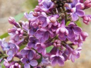 Syringa vulgaris 'Agincourt Beauty'