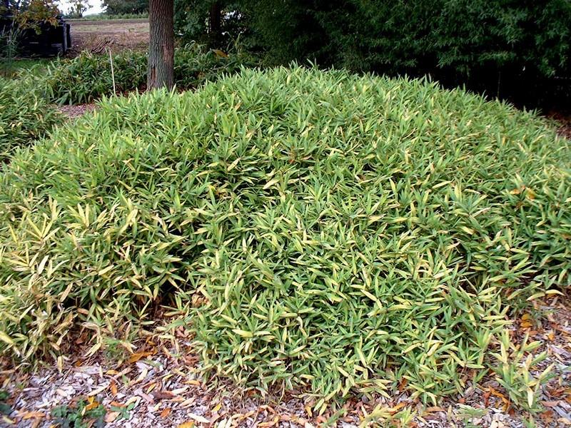 Pleioblastus viridi-striata 'Chrysophyllus'
