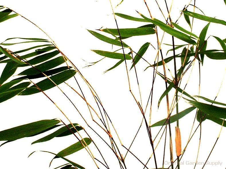 Yushania anceps 'Pitt White'