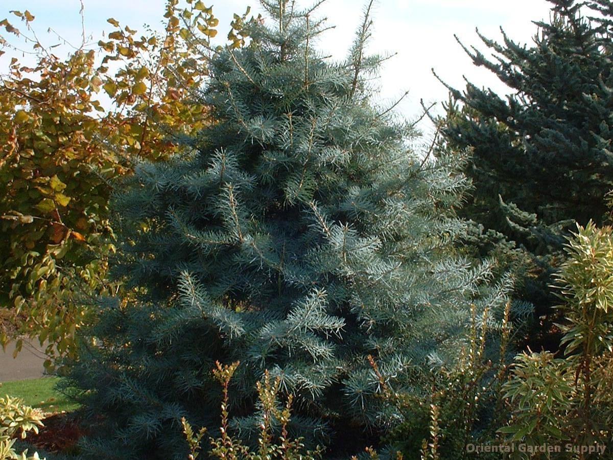 Abies concolor 'Blue Cloak'