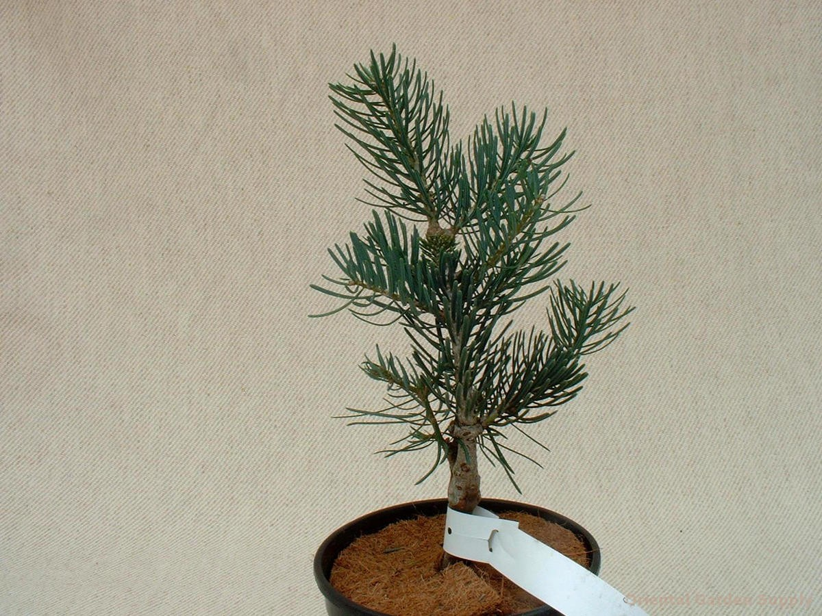 Abies concolor 'Conica'
