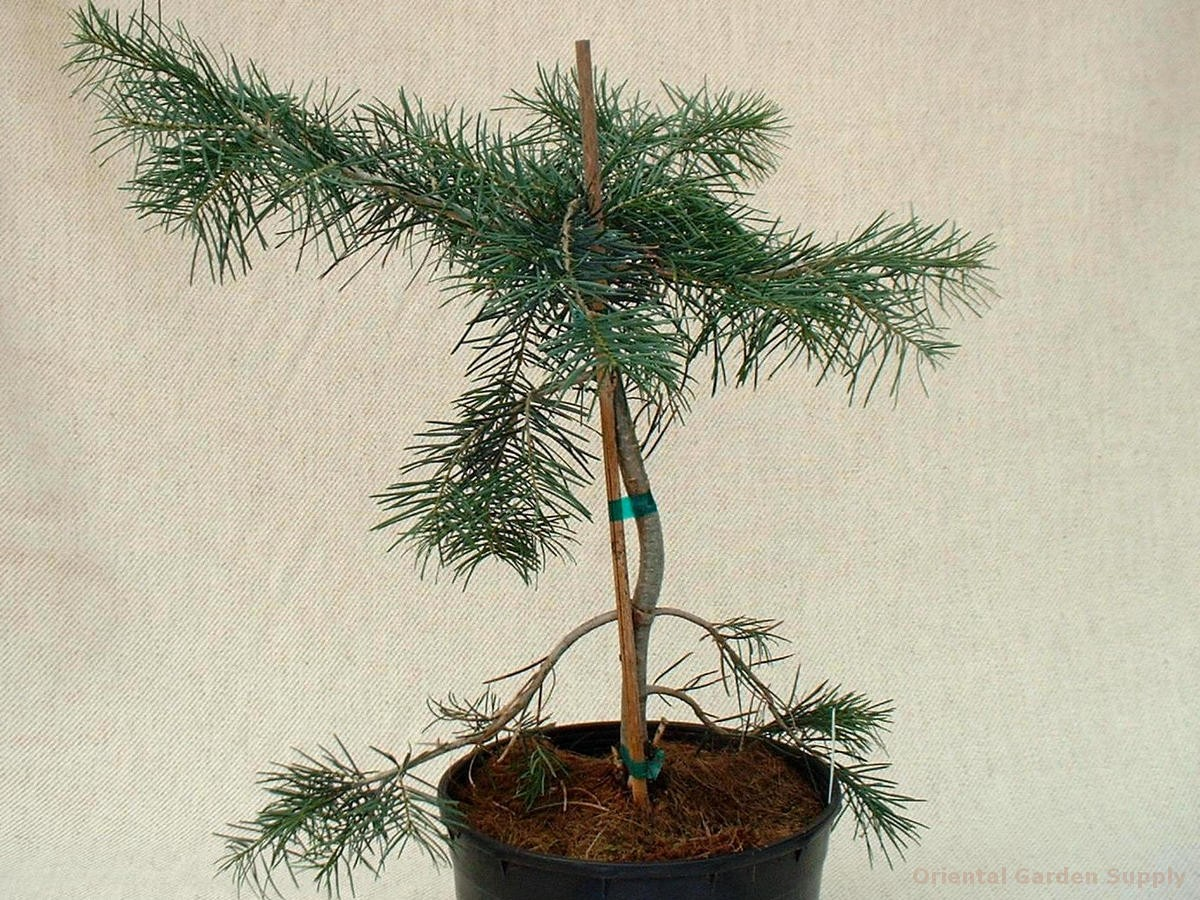 Abies concolor 'Kinky'