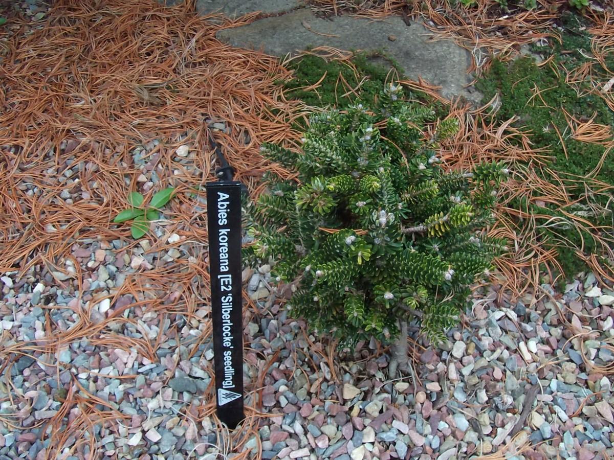 Abies koreana 'Silberlocke' - seedling
