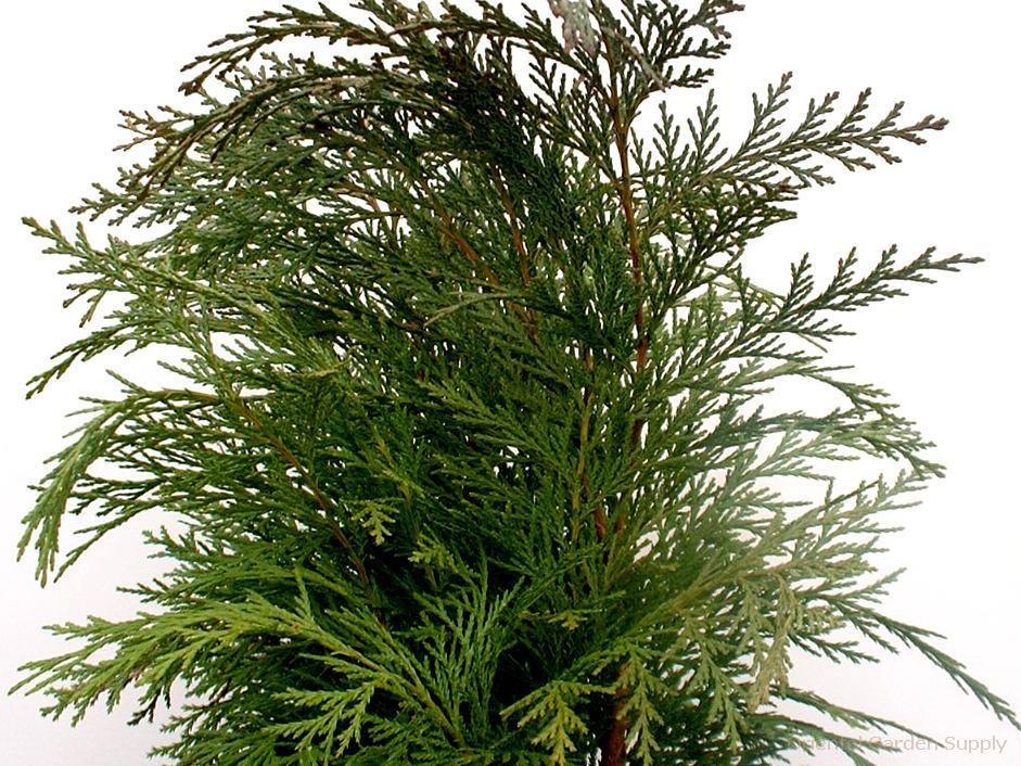 Chamaecyparis lawsoniana 'Barabit's Globe'