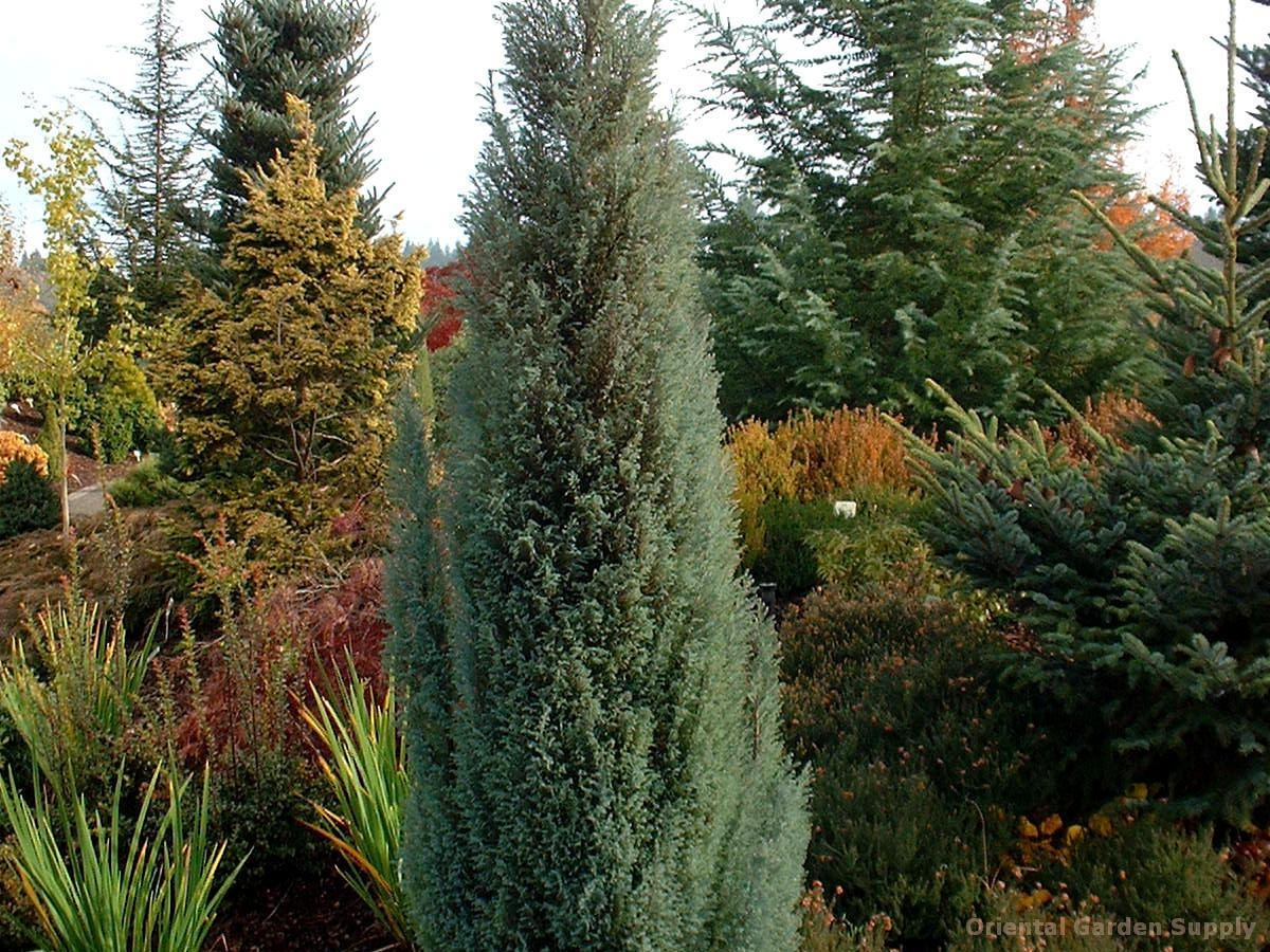 Chamaecyparis lawsoniana 'Blue Surprise'