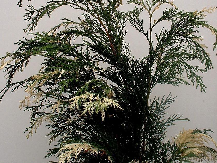 Chamaecyparis lawsoniana 'Variegated Ed Rezek'