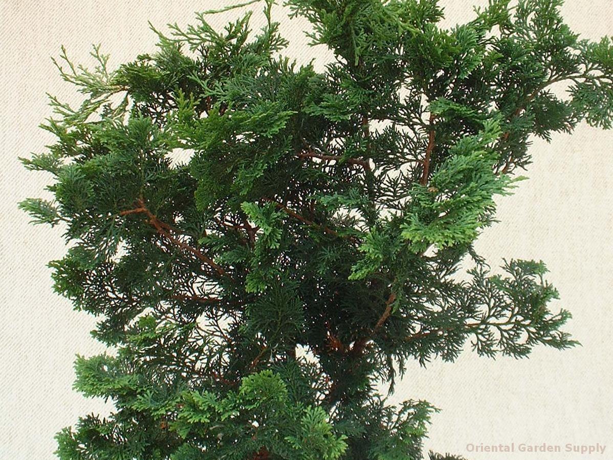 Chamaecyparis obtusa 'Breviramea'