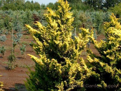 Chamaecyparis obtusa 'Fernspray Gold'