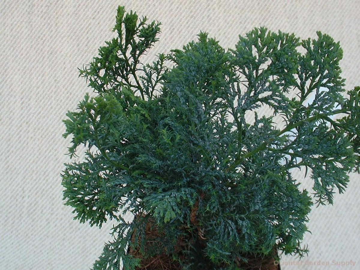 Chamaecyparis obtusa 'Junior'