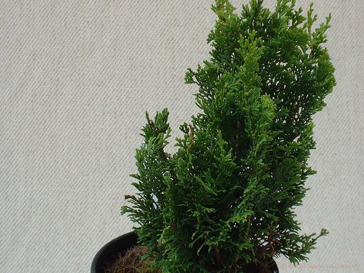 Chamaecyparis obtusa 'Meroke'