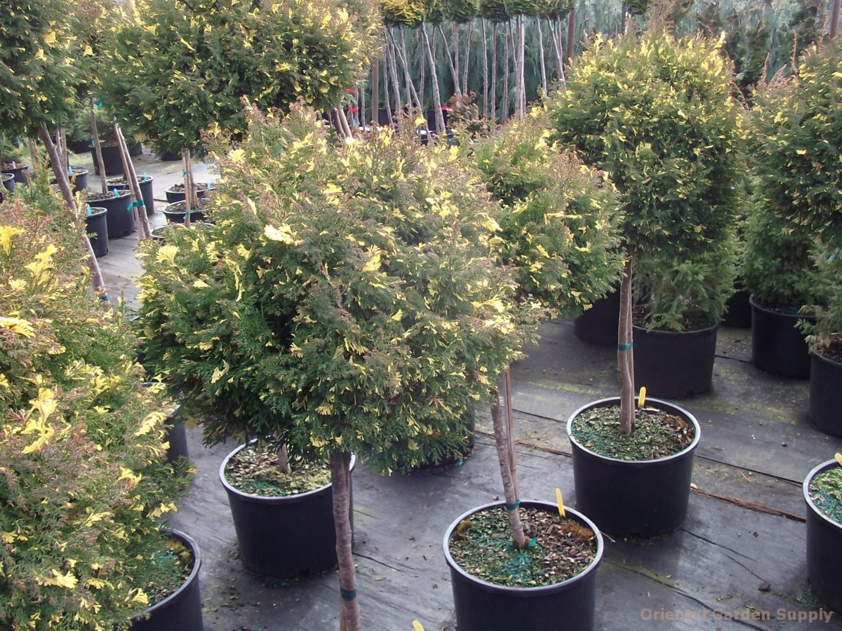 Chamaecyparis obtusa 'Saffron Spray'
