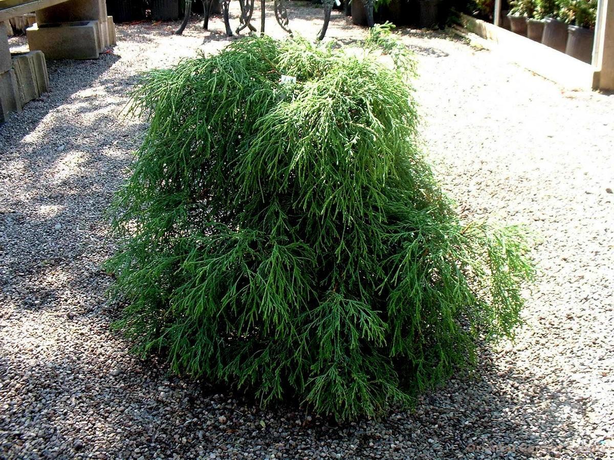 Chamaecyparis pisifera filifera 'Sungold'