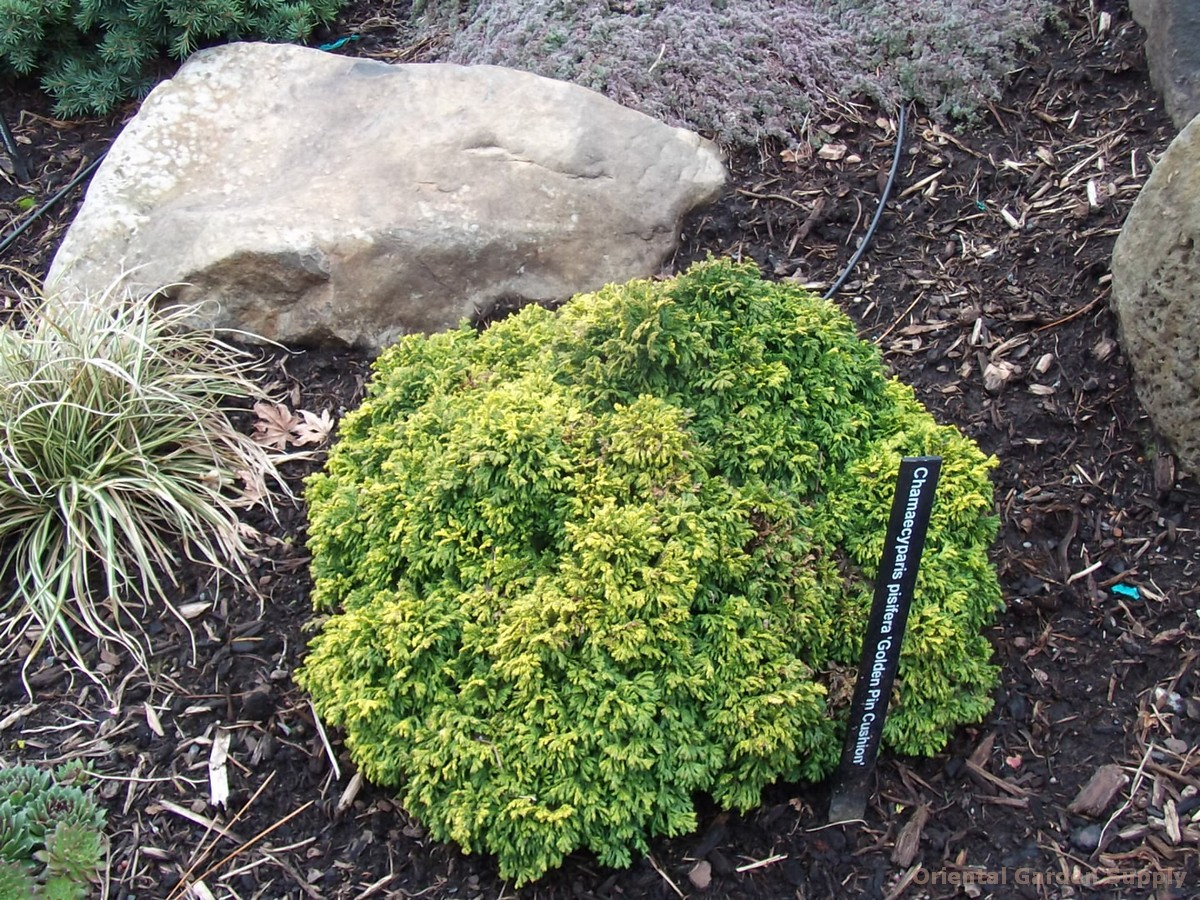 Chamaecyparis pisifera 'Gold Pin Cushion'