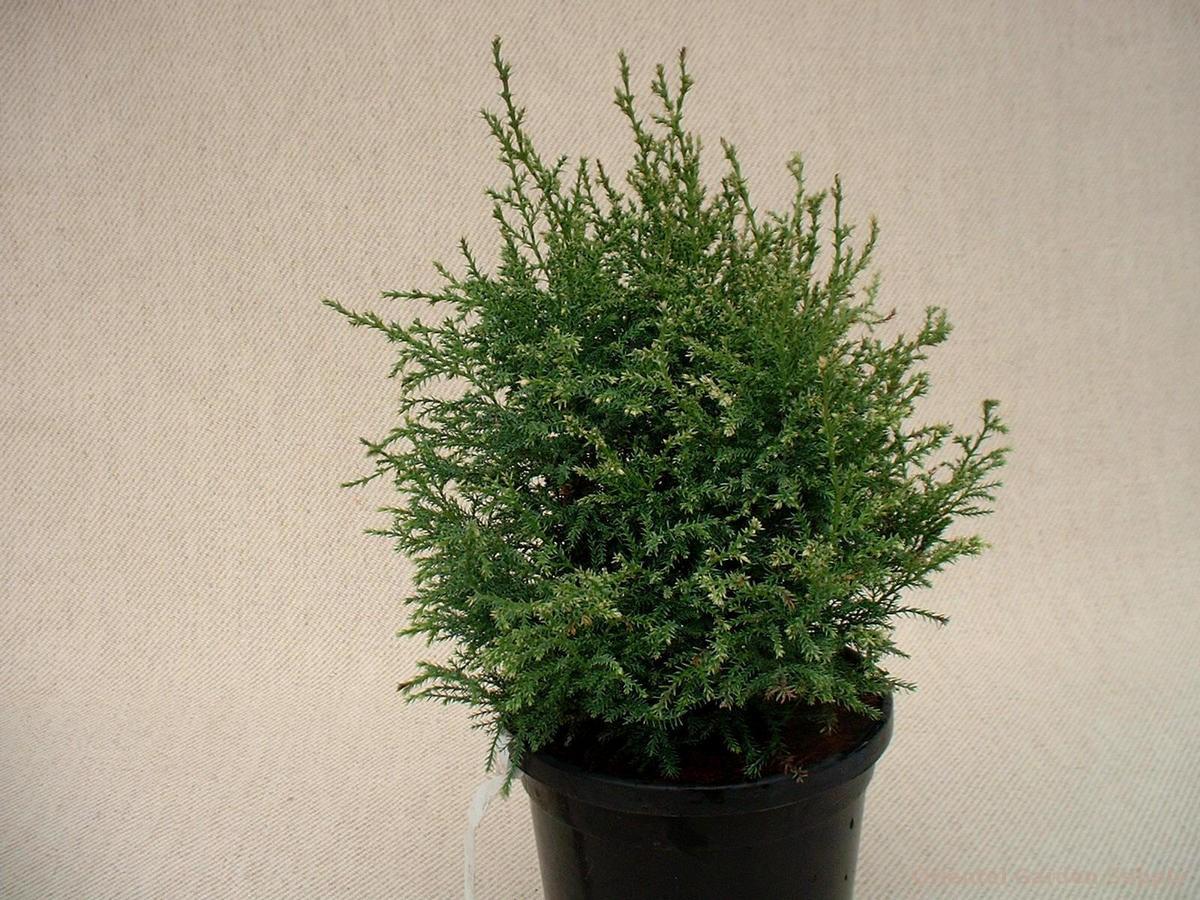 Chamaecyparis pisifera 'Miko'