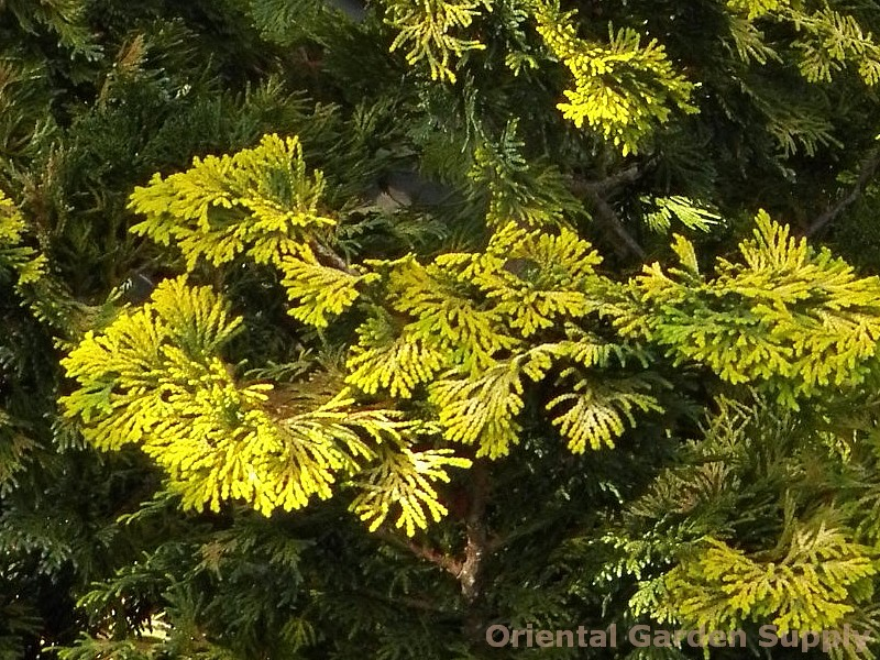 Chamaecyparis obtusa 'Aurea Nana'