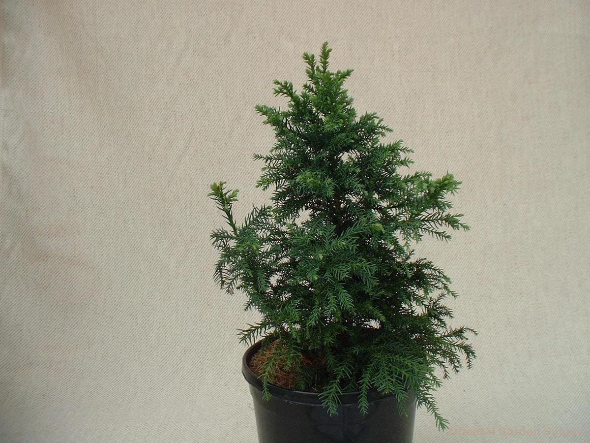 Cryptomeria japonica 'Atawhai'