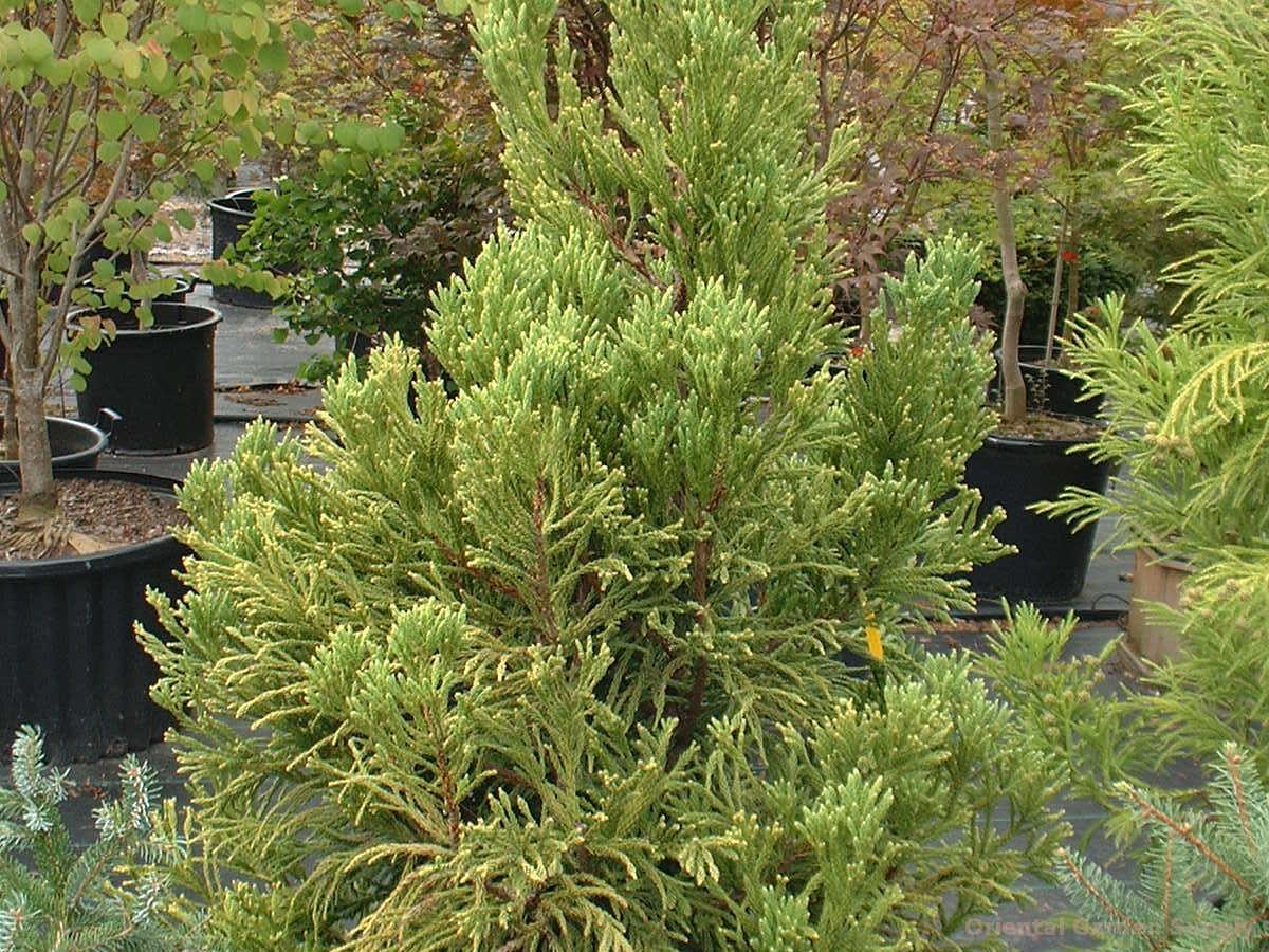 Cryptomeria japonica 'Dense Jade'