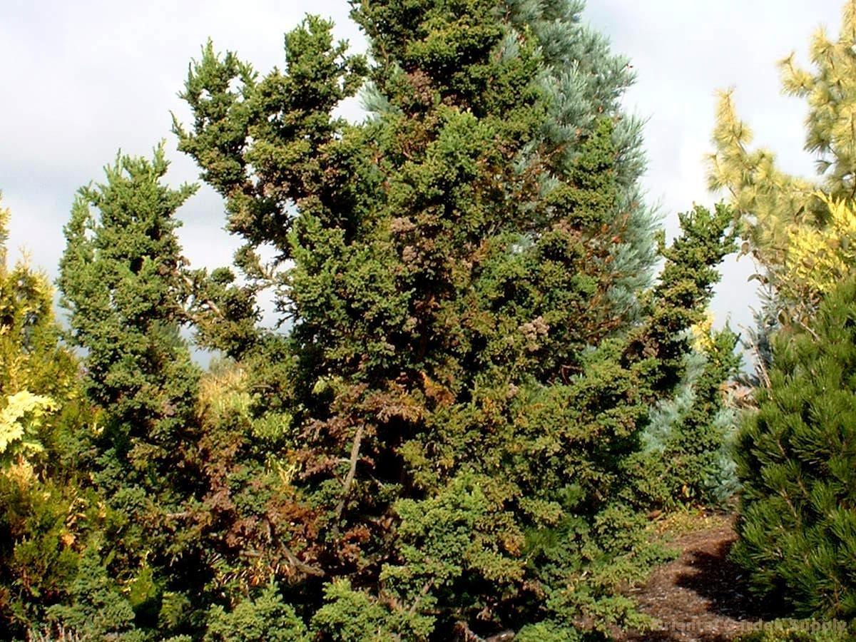 Cryptomeria japonica 'Jindai sugi'