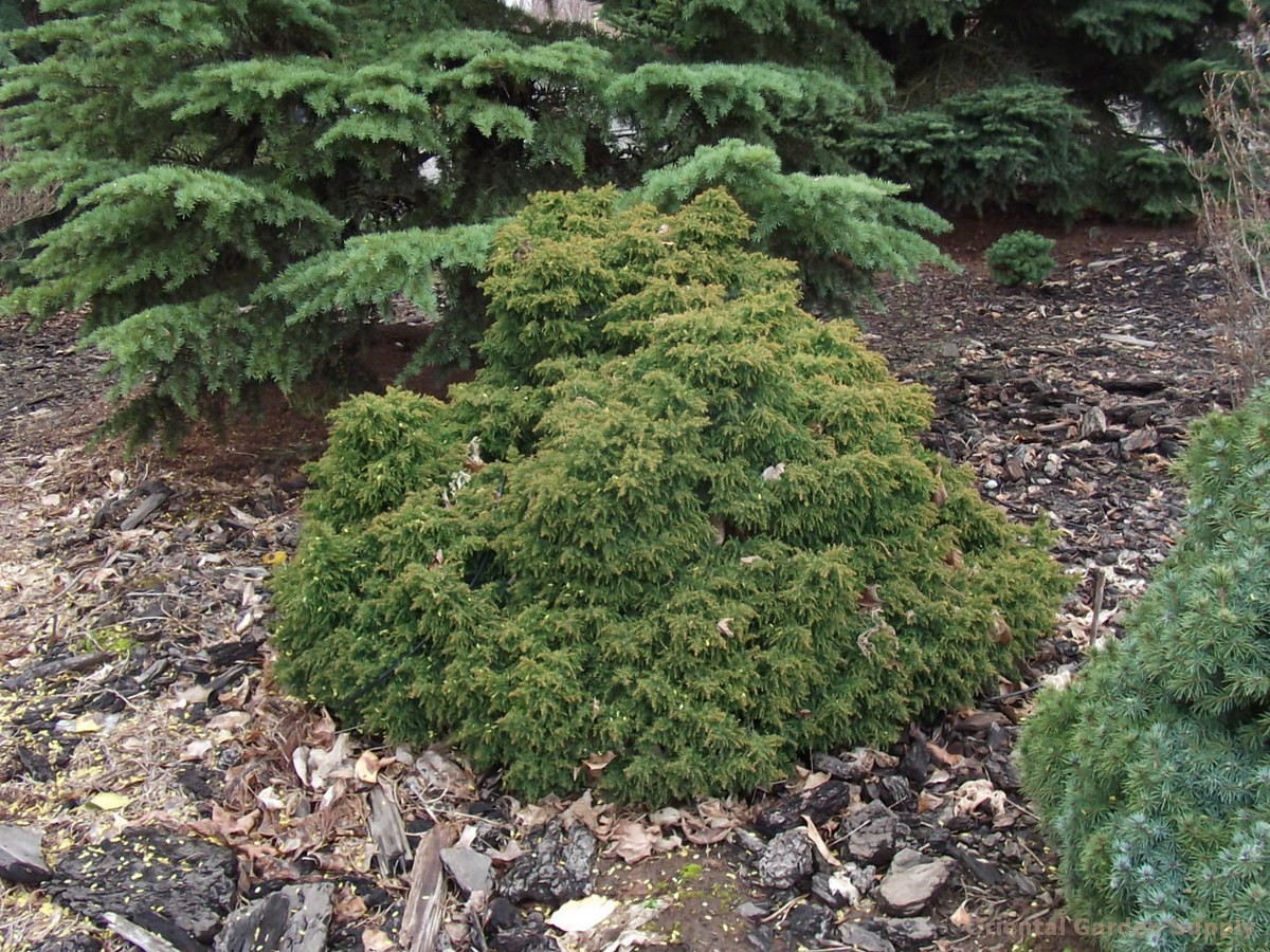 Cryptomeria japonica 'Ryoku gyoku'