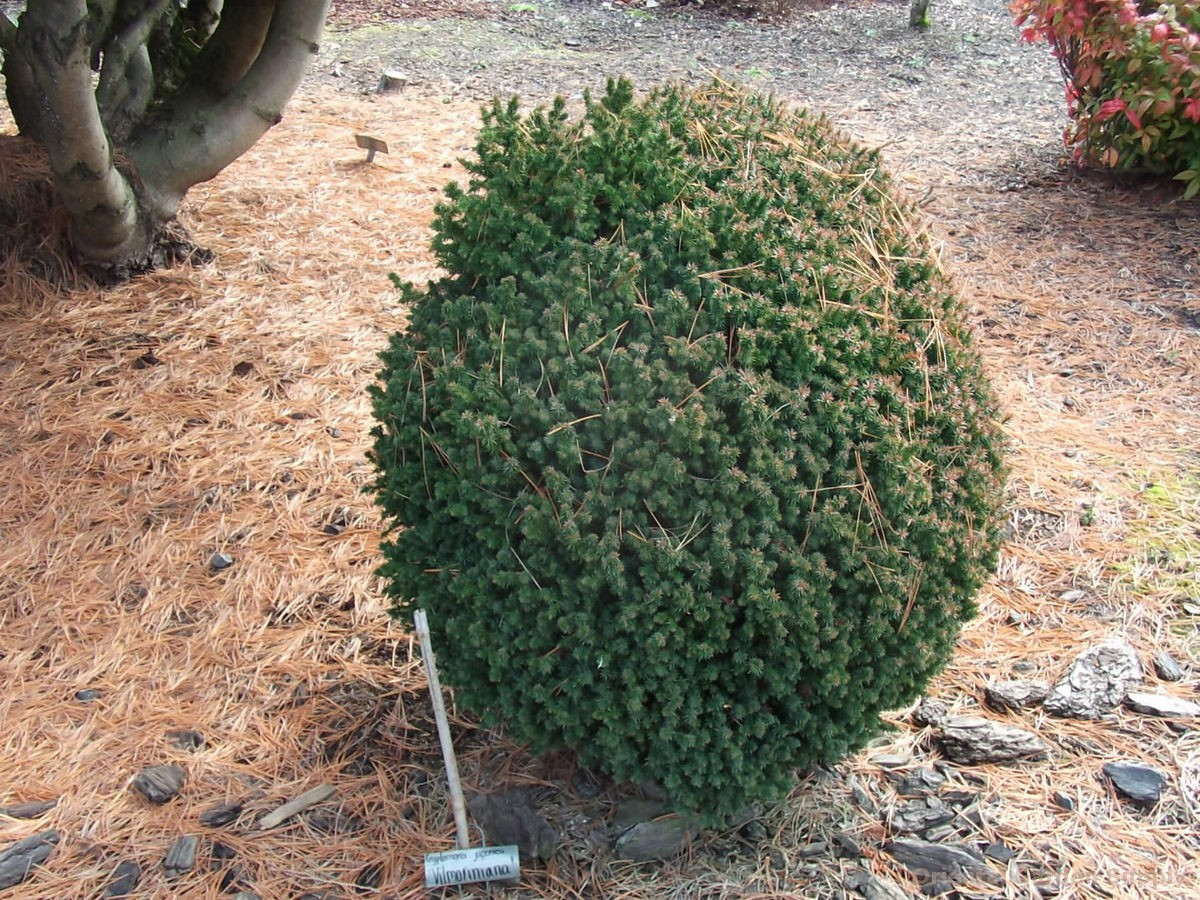 Cryptomeria japonica 'Vilmoriana'