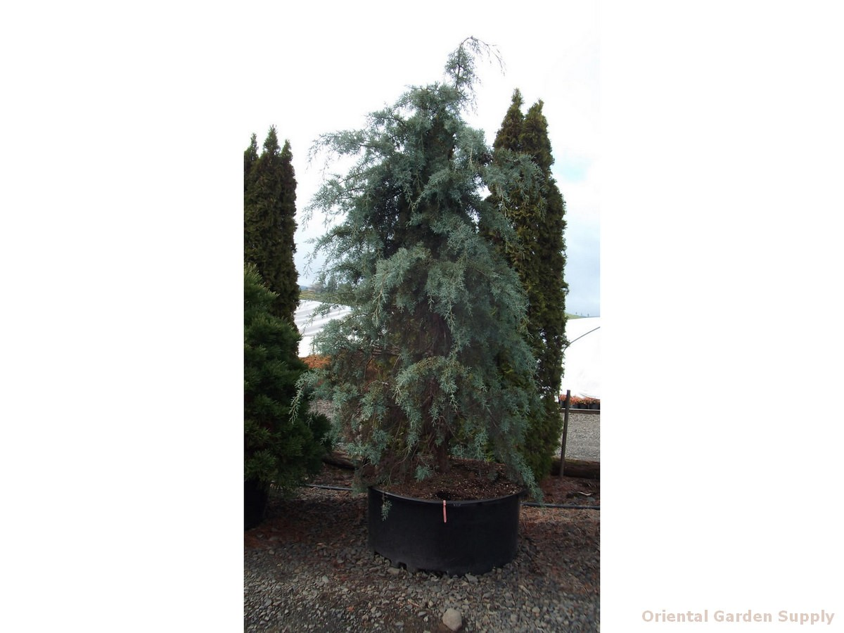 Cupressus glabra 'Raywood's Weeping'