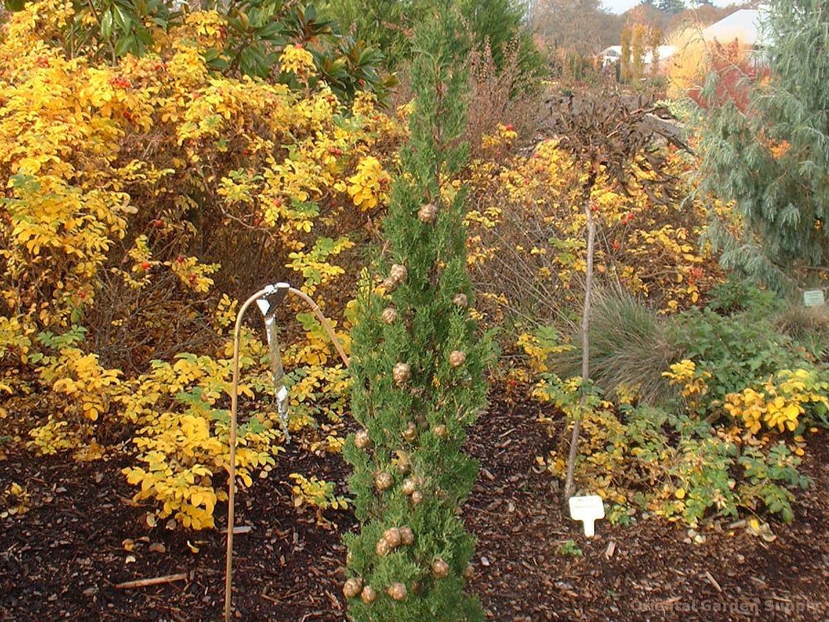 Cupressus macrocarpa 'Karoonda'