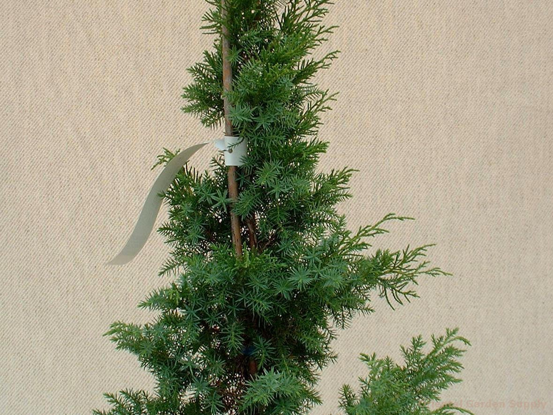 Juniperus chinensis 'Foemina'