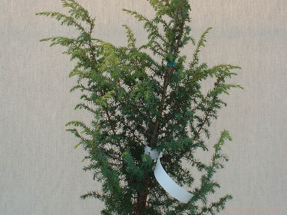 Juniperus communis 'Golden Schnapps'