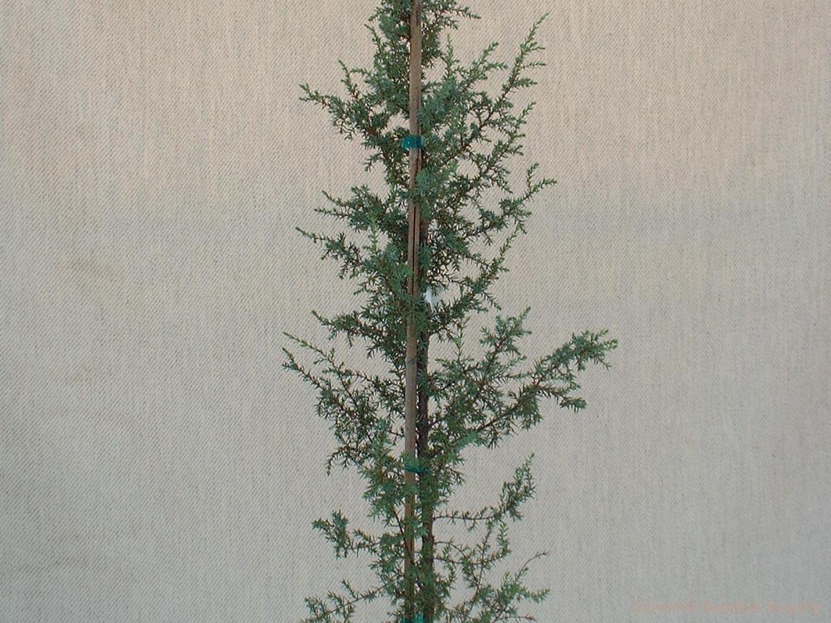 Juniperus communis 'Hibernica'