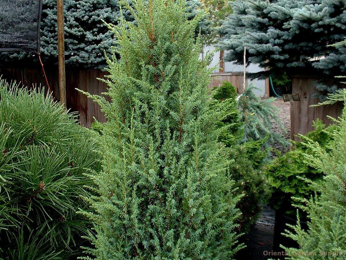 Juniperus communis 'Suecia Nana'