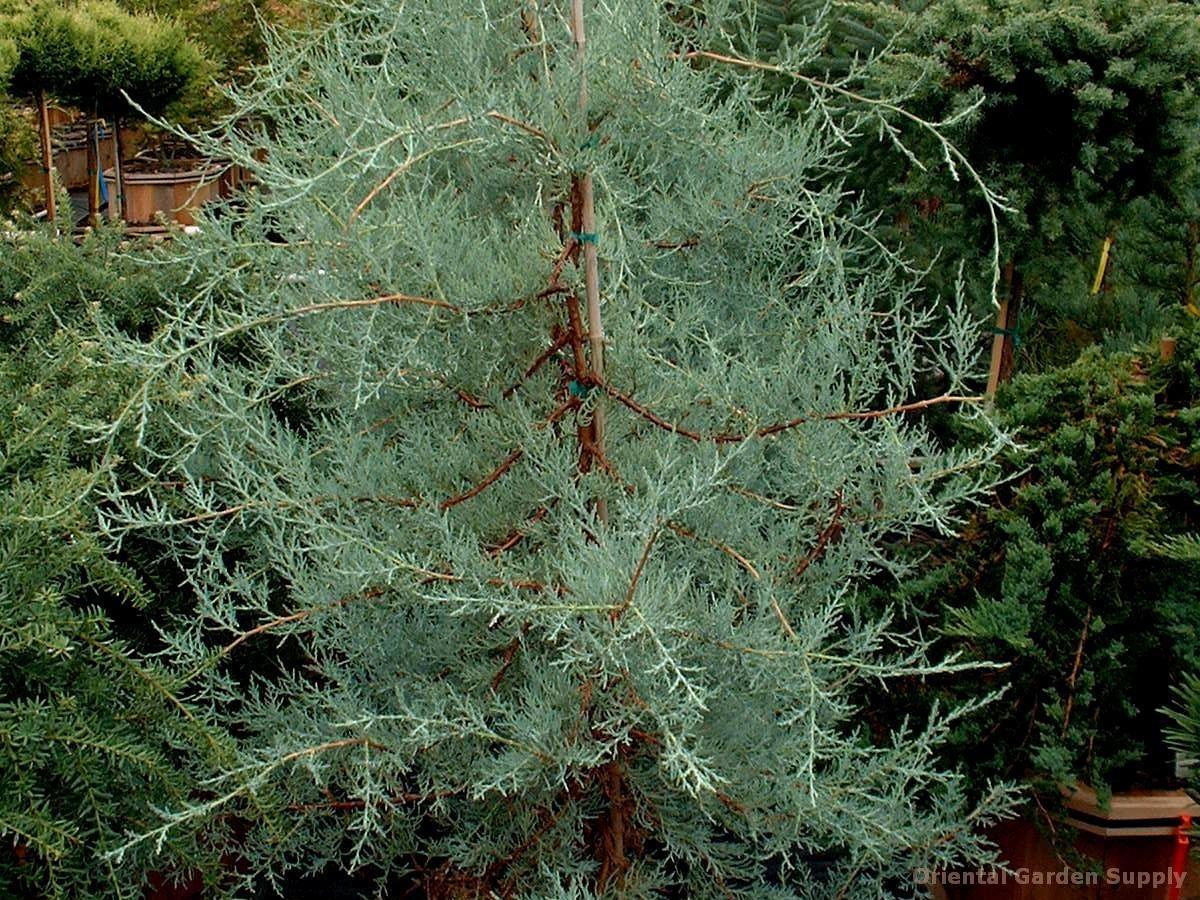 Juniperus deppeana 'Ohmy Blue'