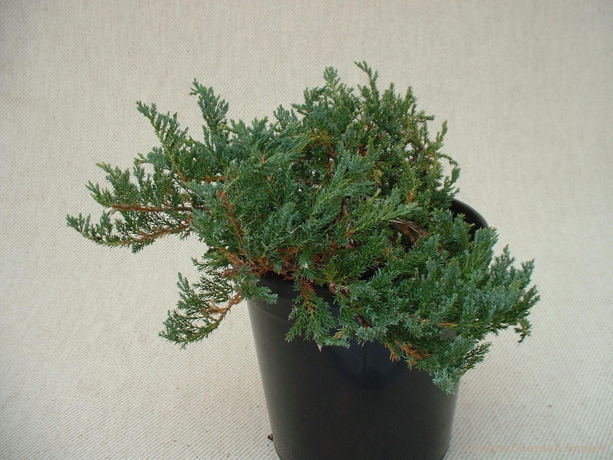 Juniperus horizontalis 'Filicinus Minimus'