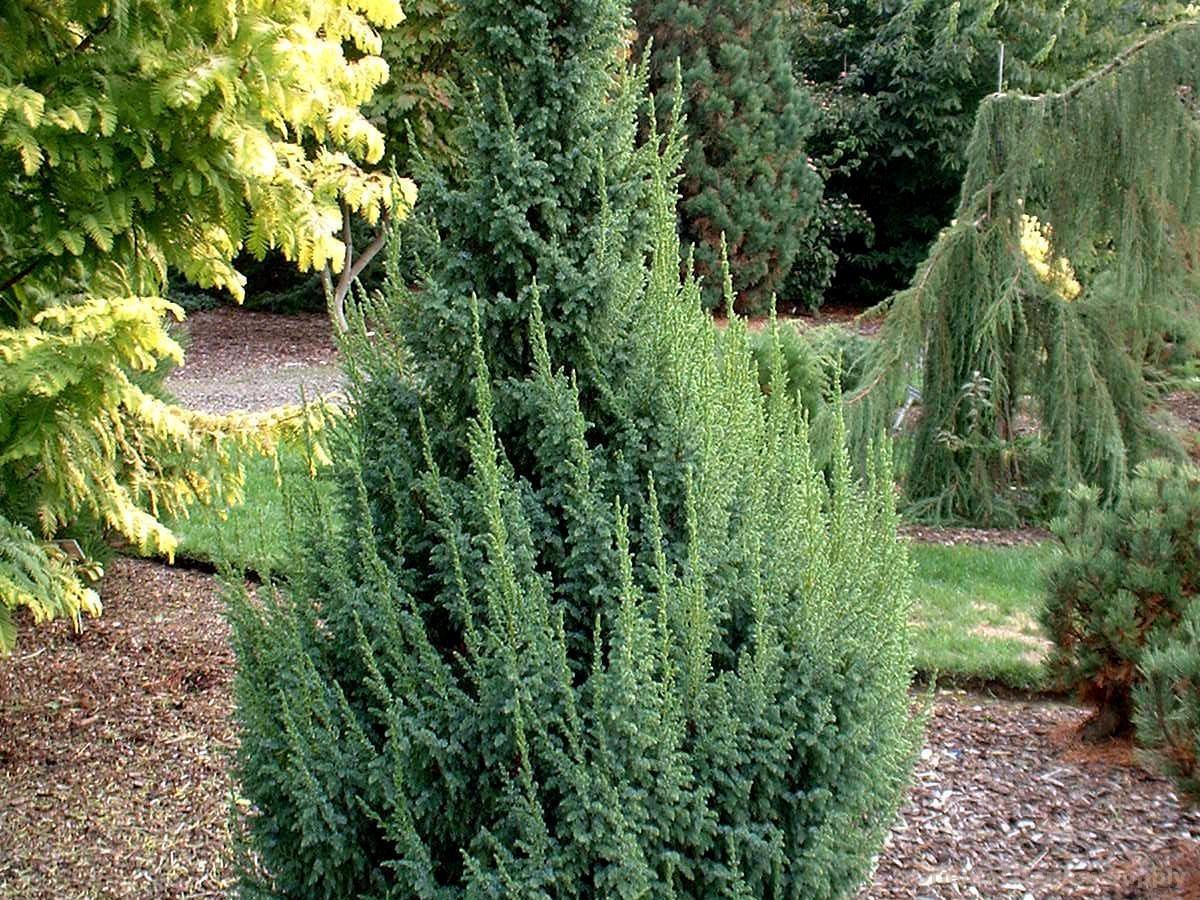 Juniperus squamata 'Loderi'