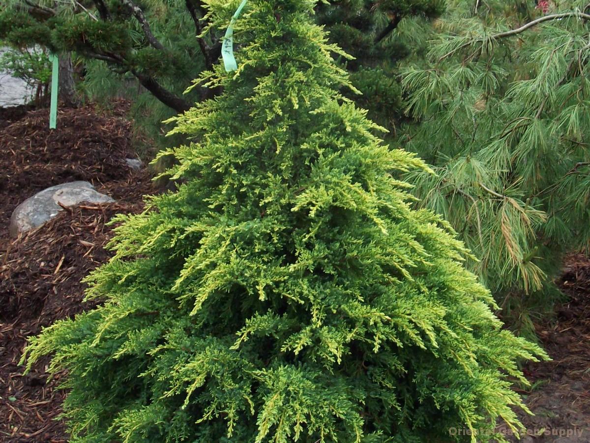 Juniperus x media 'Daub's Frosted'