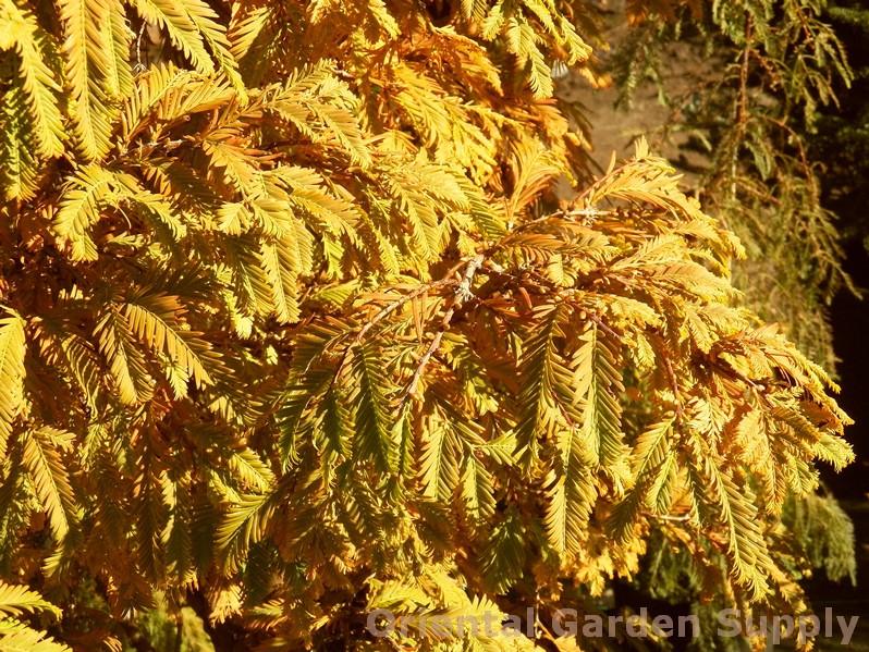Metasequoia glyptostroboides 'Hamlet's Broom'