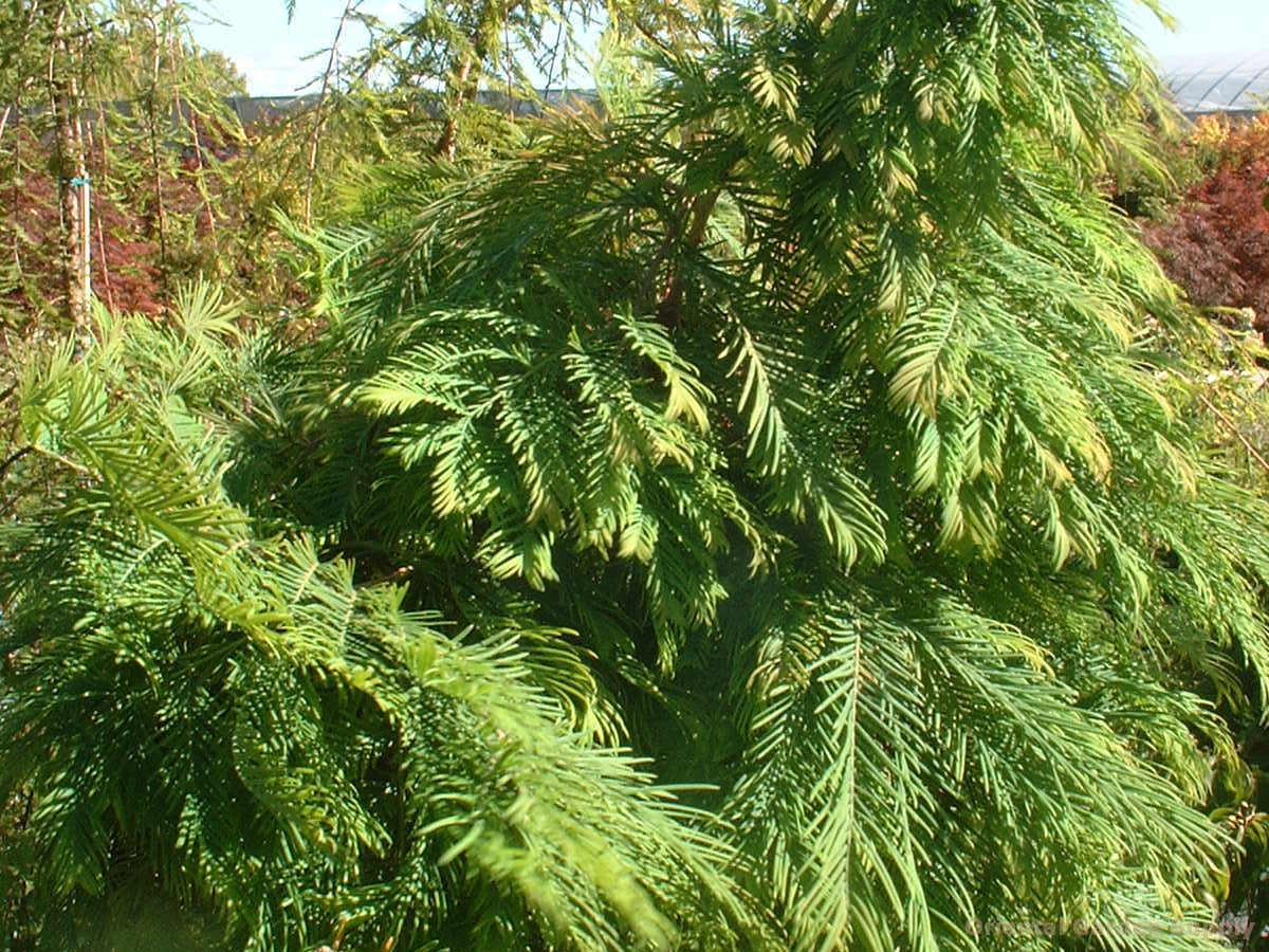 Metasequoia glyptostroboides 'Headhunter'