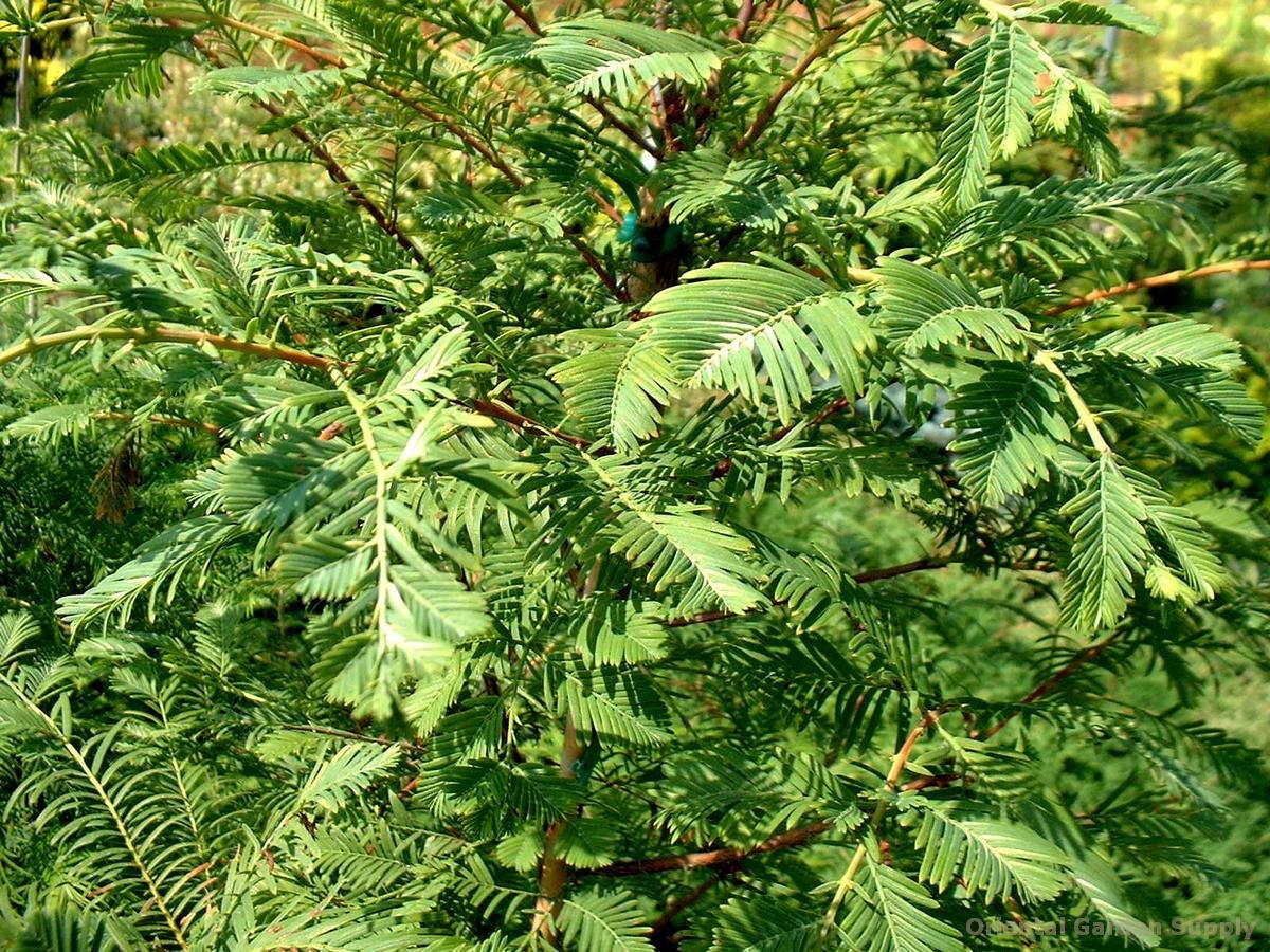 Metasequoia glyptostroboides 'Jack Frost'