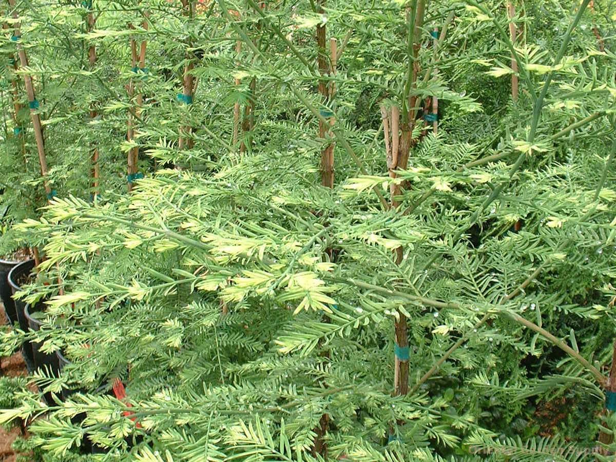 Metasequoia glyptostroboides 'Silhouette'