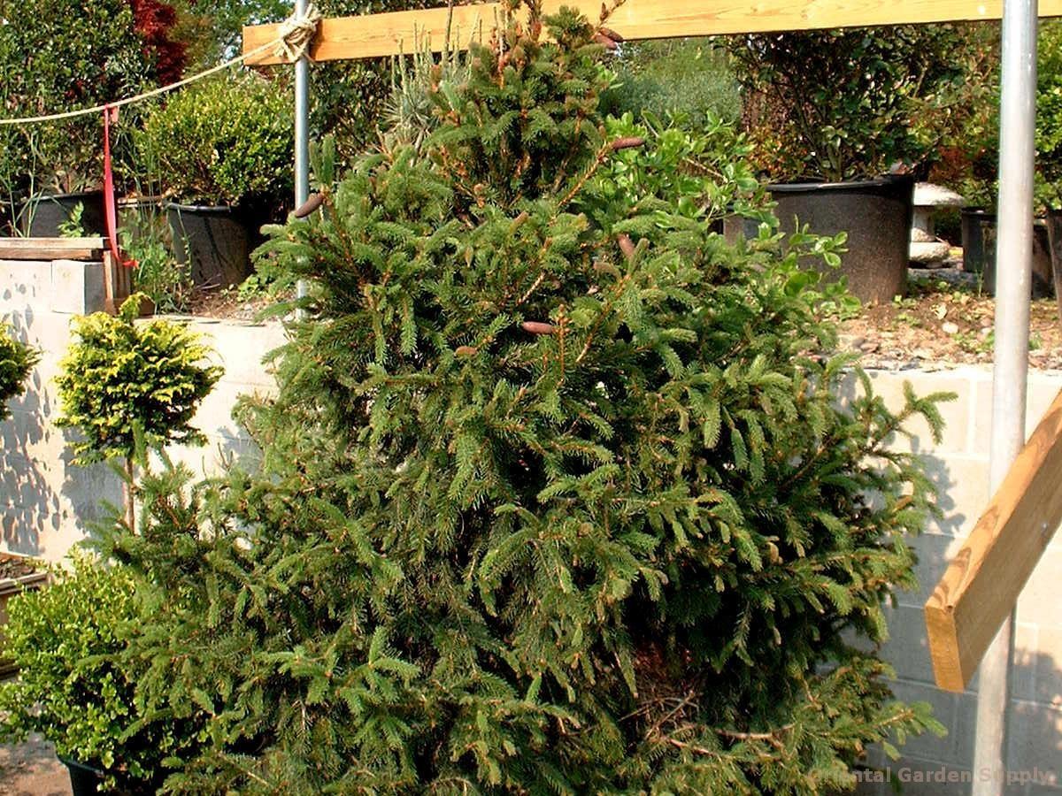 Picea abies 'Crusita'