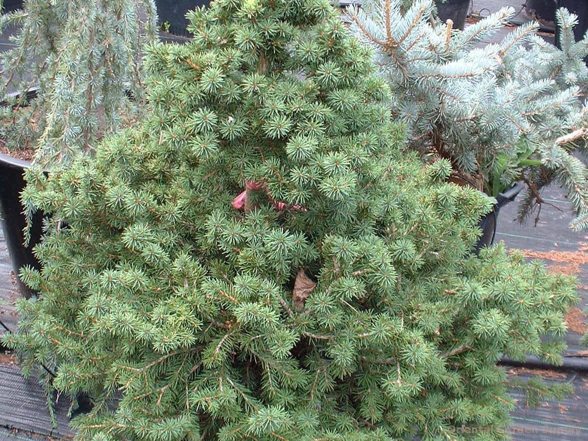 Picea abies 'Gregoriana'