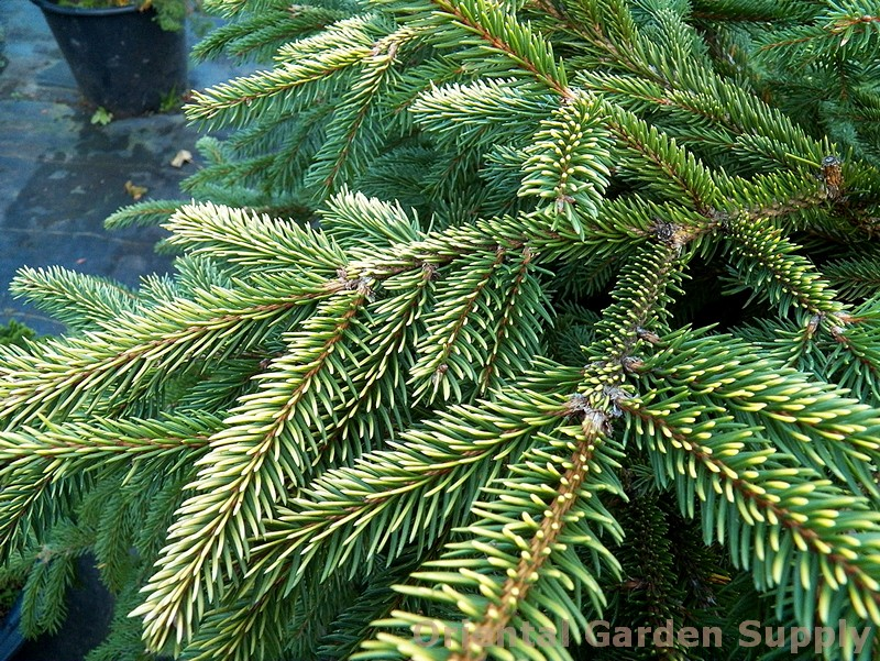 Picea abies 'Acro-yellow'