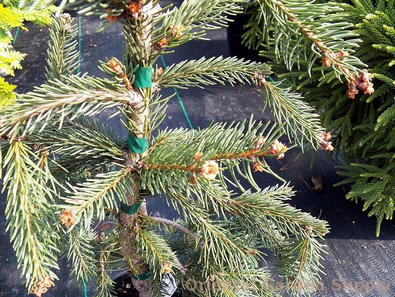 Picea abies 'Glauca Pendula'