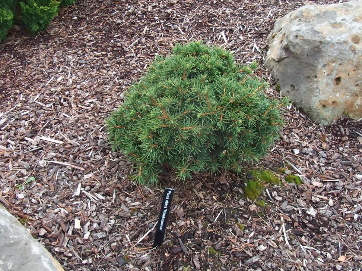 Picea abies 'Mikulasovice'