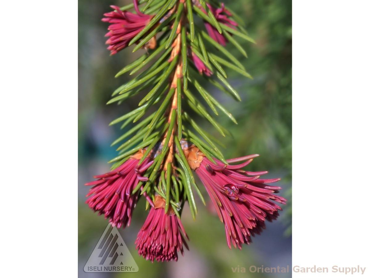 Picea abies 'Rubra Spicata'