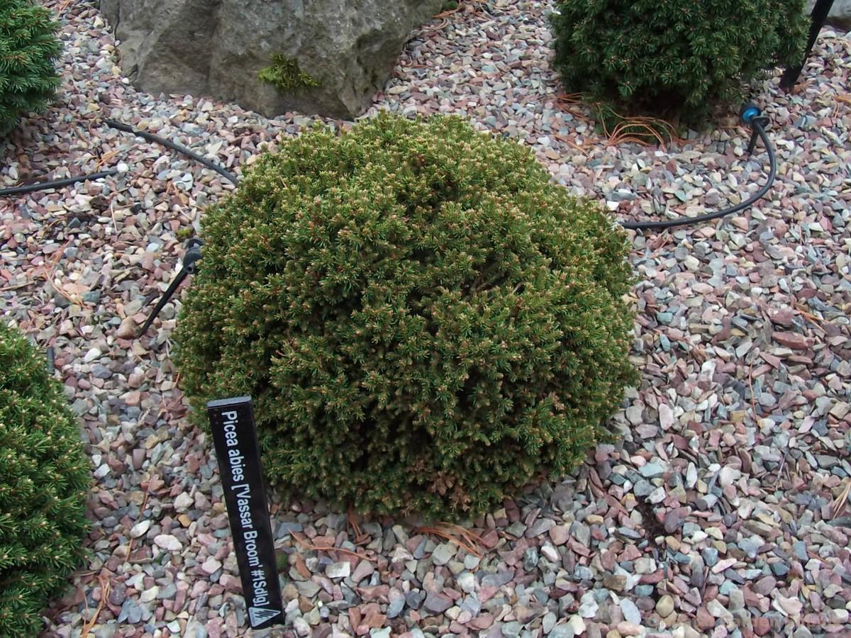 Picea abies 'Vassar Broom'